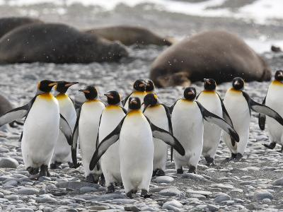 King Penguins Walking Past Sleeping Southern Elephant Seals-Roy Toft-Photographic Print