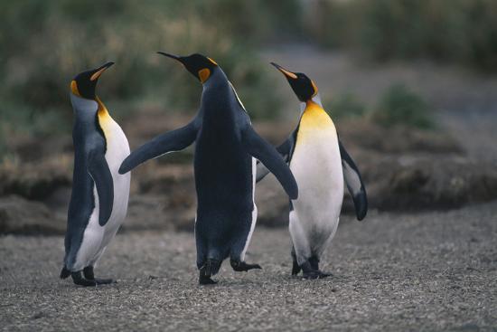 King Penguins Walking Together-DLILLC-Photographic Print