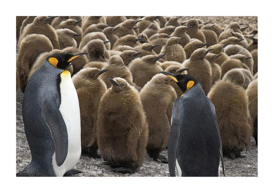 King Penguins With Chicks-Donald Paulson-Giclee Print