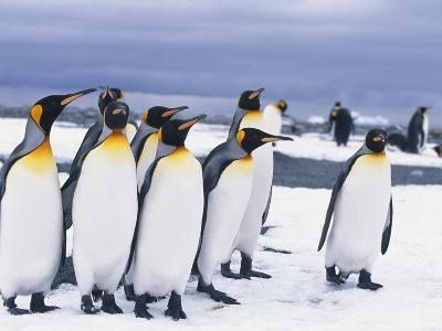 King Penguins--Photographic Print