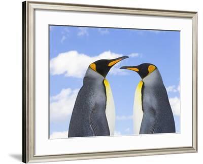King Penguins-John Eastcott & Yva Momatiuk-Framed Photographic Print