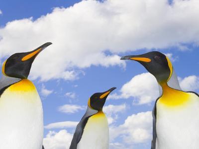 King Penguins-John Eastcott & Yva Momatiuk-Photographic Print