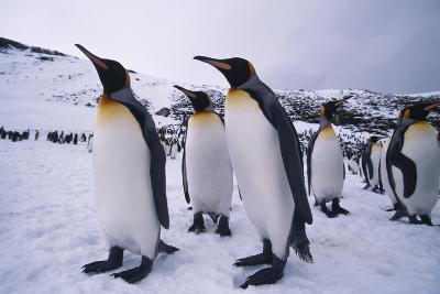 King Penguins-DLILLC-Photographic Print
