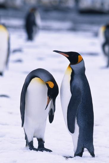 King Penguins-DLILLC-Photographic Print