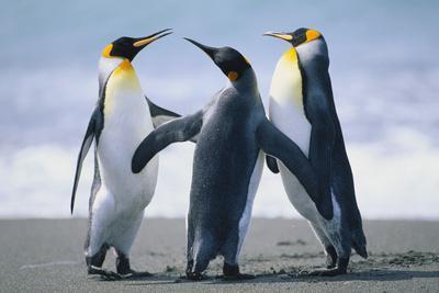 https://imgc.artprintimages.com/img/print/king-penguins_u-l-pzra3u0.jpg?p=0