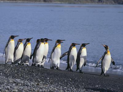 https://imgc.artprintimages.com/img/print/king-penguins_u-l-pzrdjk0.jpg?p=0