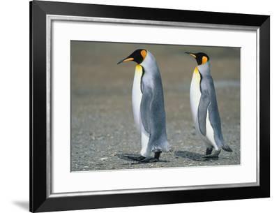 King Penguins-DLILLC-Framed Photographic Print
