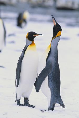 https://imgc.artprintimages.com/img/print/king-penguins_u-l-pzrefz0.jpg?p=0