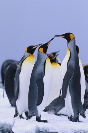https://imgc.artprintimages.com/img/print/king-penguins_u-l-pzreg80.jpg?p=0