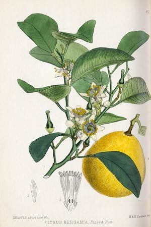 Bergamot Orange, 19th Century