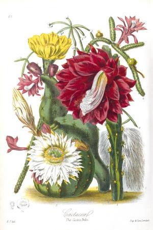 Cactus Flowers, 19th Century