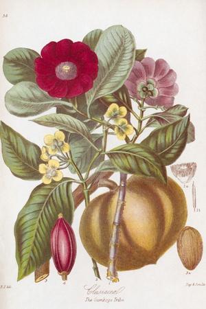 Gamboge Flowers, 19th Century