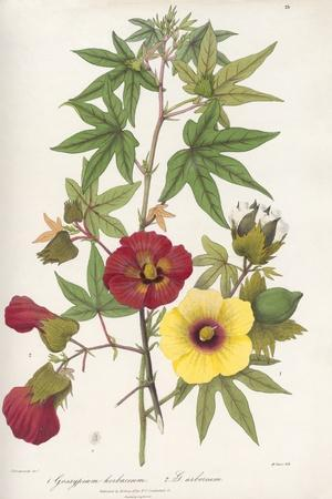 Gossypium Flowers, 19th Century