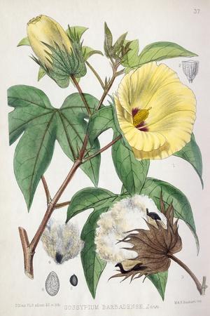 Pima Cotton Flowers, 19th Century