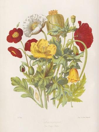 Poppy Flowers, 19th Century