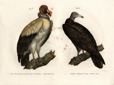 King Vulture, 1864--Giclee Print