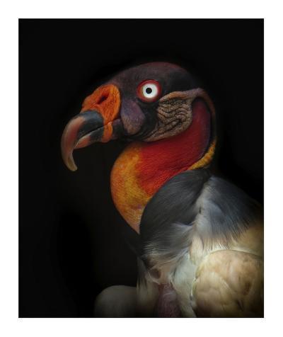 King Vulture-Sarcoramphus Papa-Ferdinando Valverde-Giclee Print