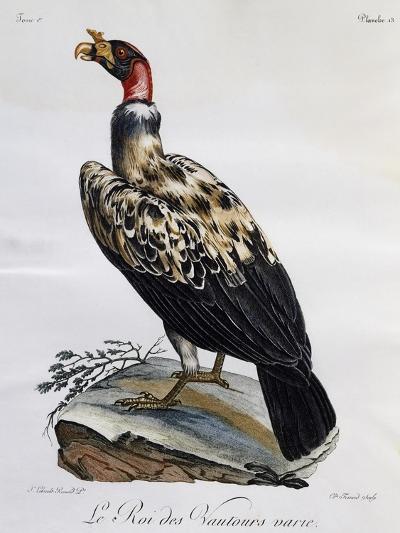 King Vulture (Sarcoramphus Papa)--Giclee Print