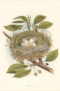 Kingbird Nest and Eggs