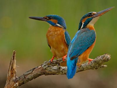 Kingfisher (Alcedo Atthis)-Stefan Benfer-Photographic Print