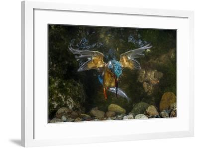 Kingfisher Hunting a Fish Underwater-ClickAlps-Framed Photographic Print