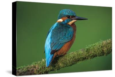 Kingfisher Perched on Branch