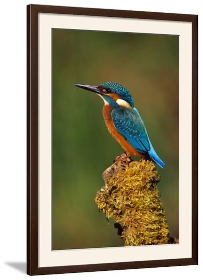 Kingfisher Perched on Moss Covered Tree Stump--Framed Photographic Print