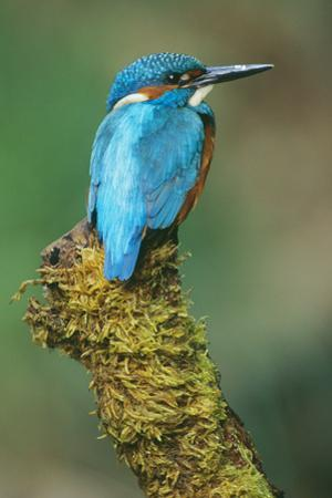 Kingfisher Perched on Moss Covered Tree Stump