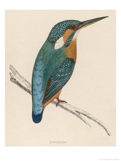 Kingfisher Sitting on a Thin Branch-Reverend Francis O^ Morris-Giclee Print