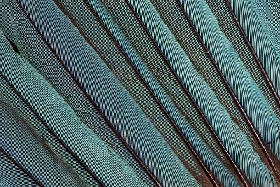 Kingfisher Wing Feathers-Darrell Gulin-Photographic Print