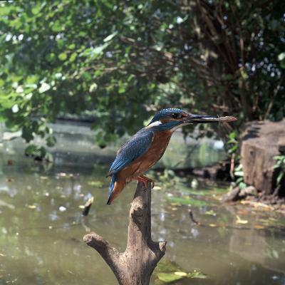 Kingfisher-CM Dixon-Photographic Print