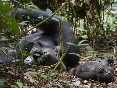 Kingo rests in the leaf litter as son Kusu lies near-Ian Nichols-Photographic Print