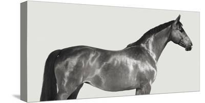 Kingsman Cavalier, English Thoroughbred-Pangea Images-Stretched Canvas Print
