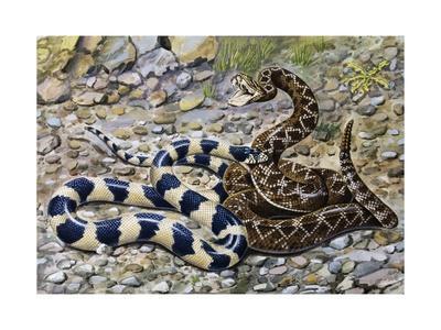 https://imgc.artprintimages.com/img/print/kingsnake-or-chain-kingsnake-lampropeltis-getula-colubridae_u-l-pvrll80.jpg?p=0