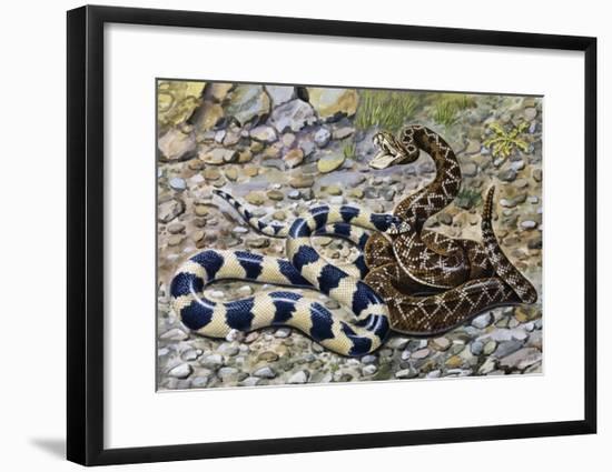 Kingsnake or Chain Kingsnake (Lampropeltis Getula), Colubridae--Framed Giclee Print