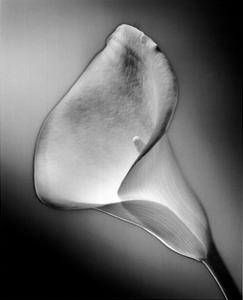Calla No.3, Front-Silver Serie by Kirk Ellison
