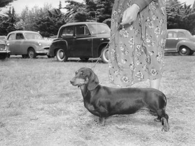 Dachshund on a Leash in Australia, Ca. 1955. by Kirn Vintage Stock