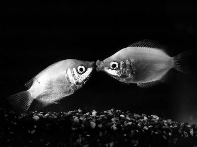 Kissing Gouramis: Romeo on the Right Made a Real Catch, Soon They Will be Swimming Around Together--Photographic Print
