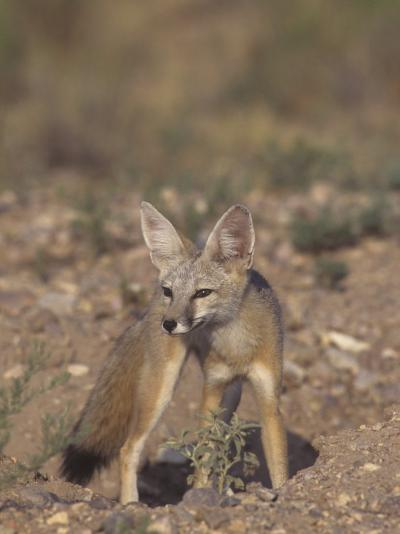 Kit Fox (Vulpes Macrotis), Southwestern North America-Rick & Nora Bowers-Photographic Print