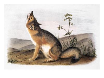 Kit Fox (Vulpes Velox)-John James Audubon-Giclee Print