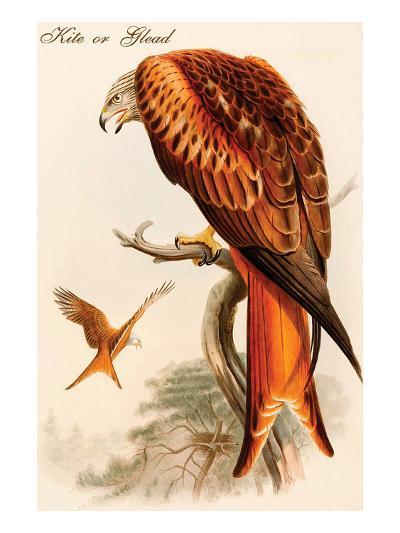 Kite or Glead-John Gould-Art Print