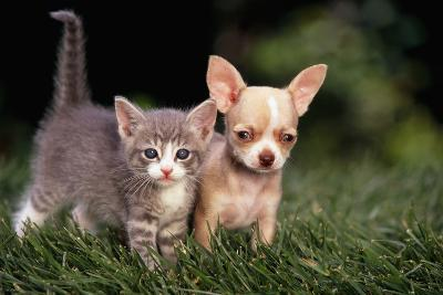 Kitten and Chihuahua Puppy-DLILLC-Photographic Print