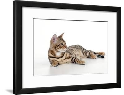 Kitten Bengal Kitten 16 Weeks--Framed Photographic Print