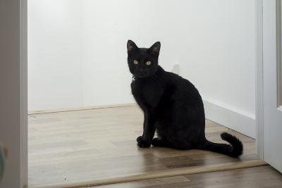 Kitten Black 1-Charles Bowman-Photographic Print