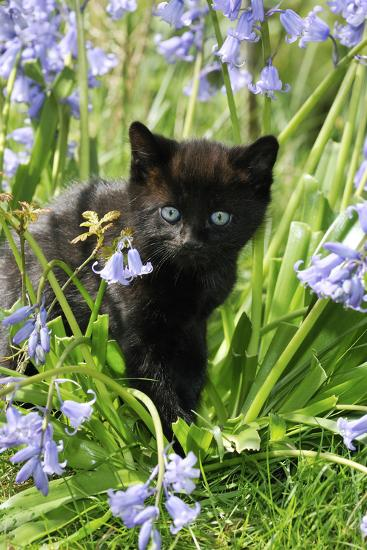 Kitten (Black) in Bluebells--Photographic Print