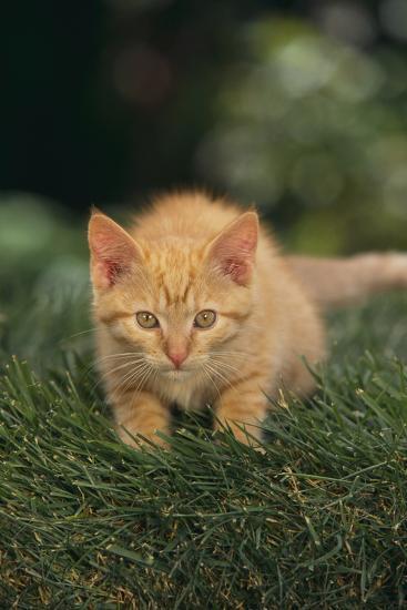 Kitten Crouching in Grass-DLILLC-Photographic Print
