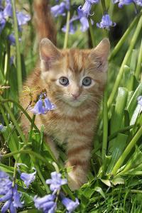 Kitten (Ginger) in Bluebells