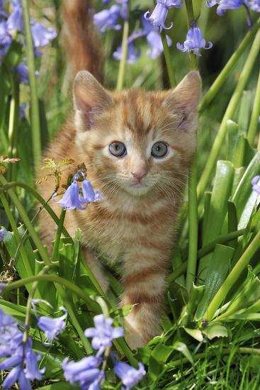 Kitten (Ginger) in Bluebells--Photographic Print