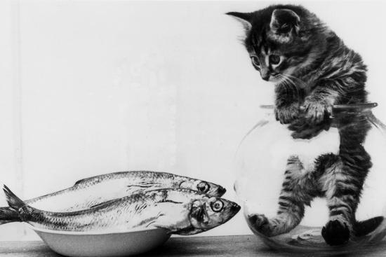 Kitten in an Aquarium Looking at Fishes in a Plate, June 26, 1972--Photo