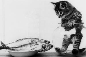 Kitten in an Aquarium Looking at Fishes in a Plate, June 26, 1972